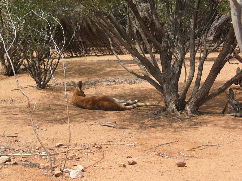 Red Kangaroo Habitat However  the special part for